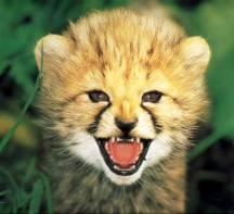 CheetahKitten